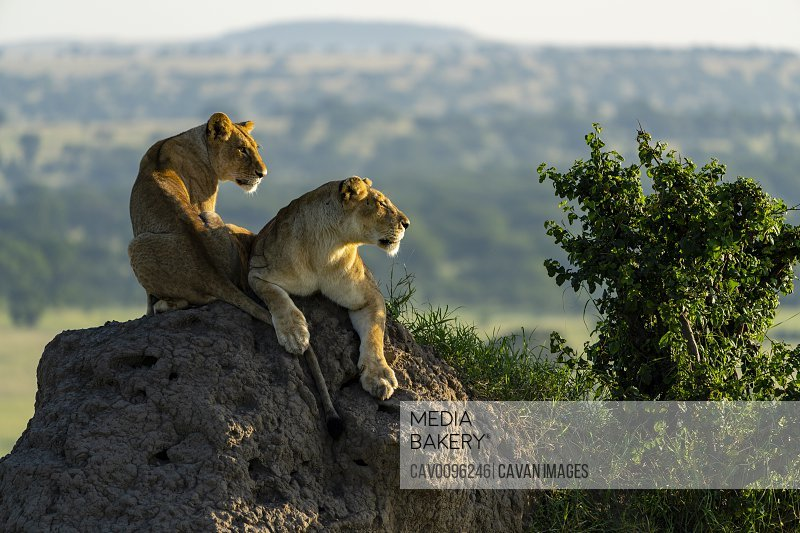 a lioness and her cub scans the horizon from a mound of earth