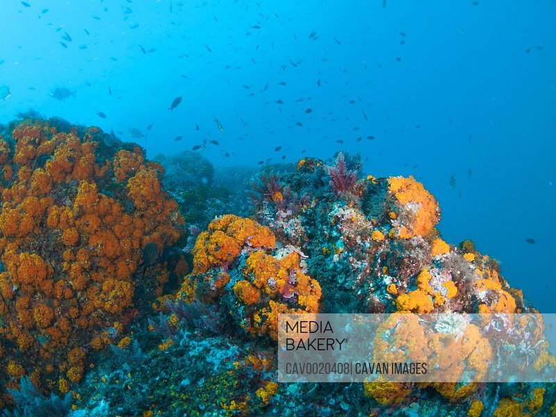 Orange coral (Astroides calycularis) covering an underwater rock