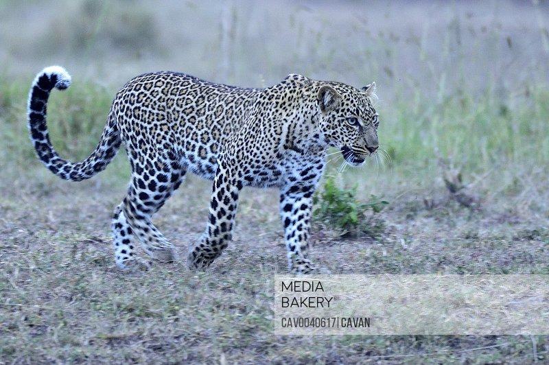 An african leopard walks across the savannah