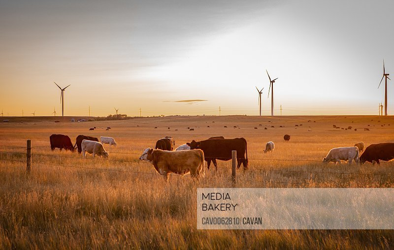 Wind farm located in wheat fields with cattle