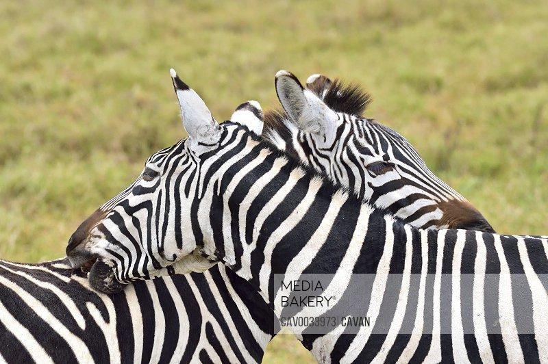 Zebras scratching each other