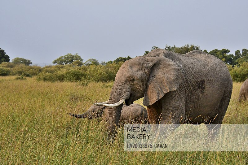 A mom and baby elephant walk thru grasses on the savannah