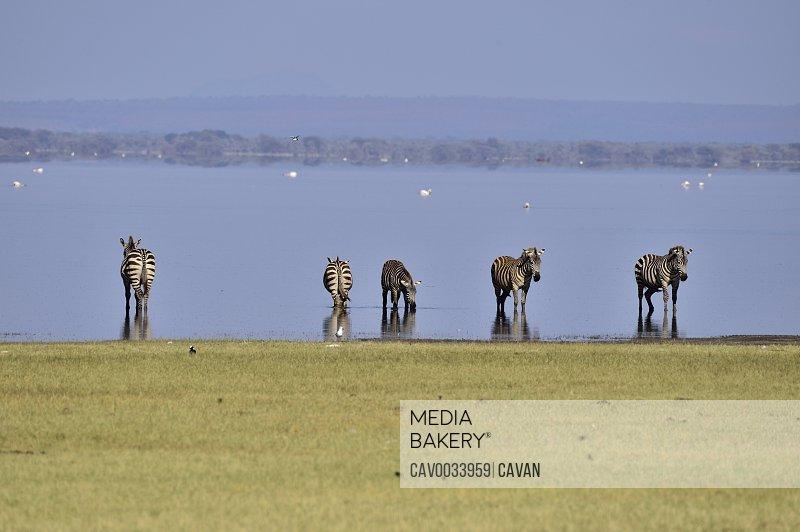 Zebras drinking from Lake Manyara
