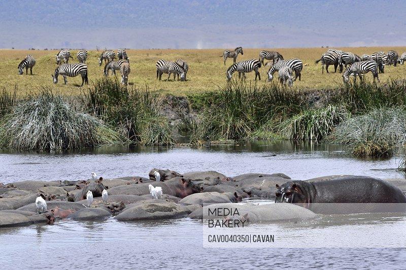 Hippos and zebras on the savannah