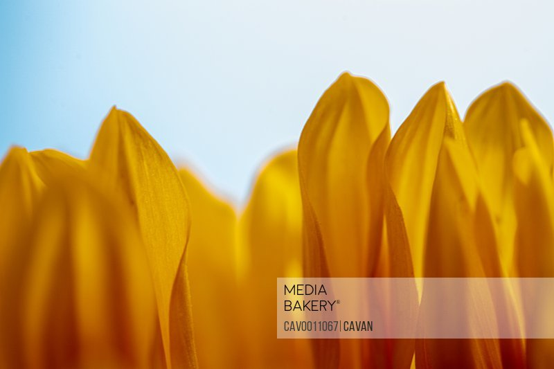 Close up of sunflower petals standing up
