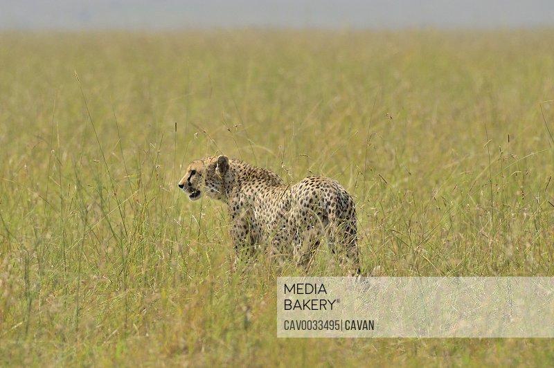 A large cheetah cat roams the safari