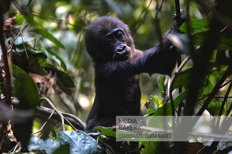 Western Lowland Gorilla (Gorilla gorilla gorilla). BAI Hokou. D
