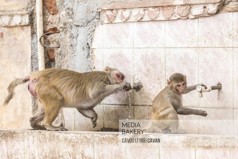 Macaque monkeys drink from a tap at a Monkey Temple (Galta Ji).