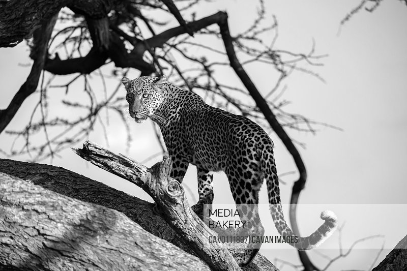 A leopard is walking up and down the tree on its branches