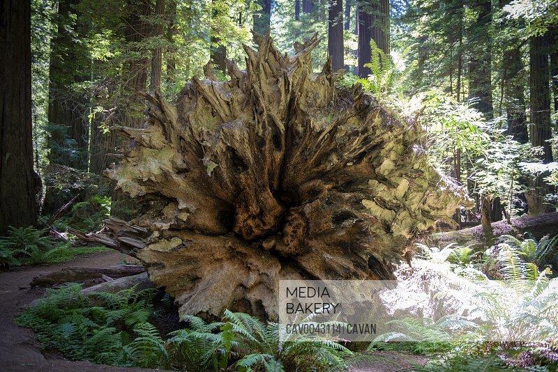 Underside of fallen redwood tree