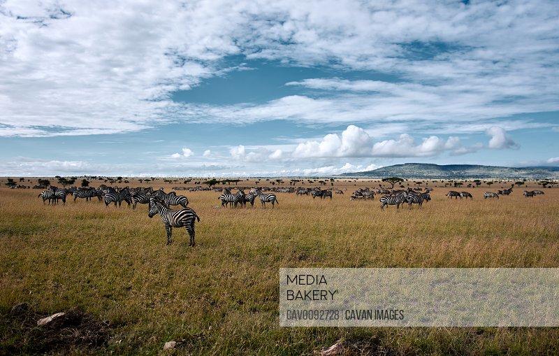 Big migration of Zebras in the Serengeti