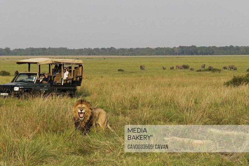 A safari group watches a male lion
