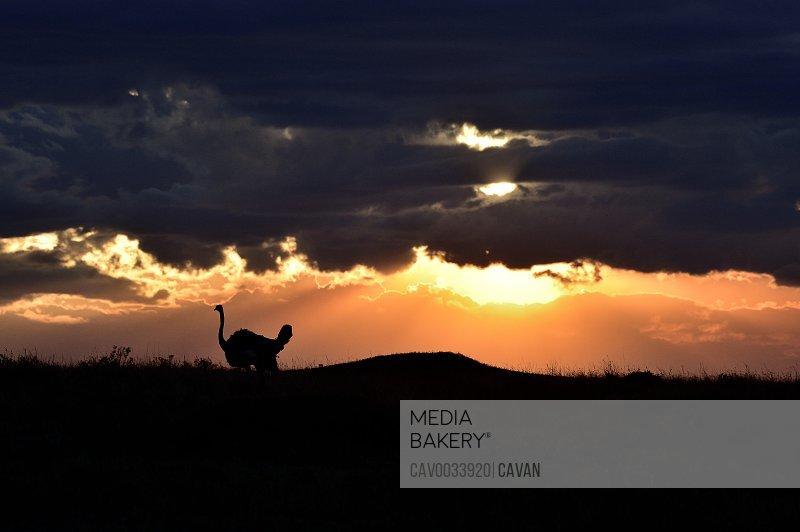 An ostrich at sunrise in Africa