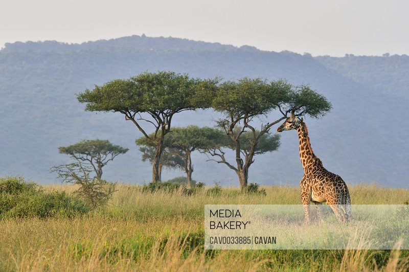 A giraffe walks the savannah