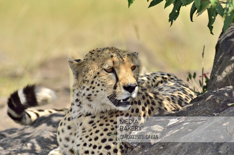 A cheetah naps in the shade of a tree