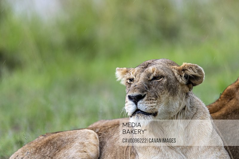 During a thunderstorm, a lioness is lying on the blank
