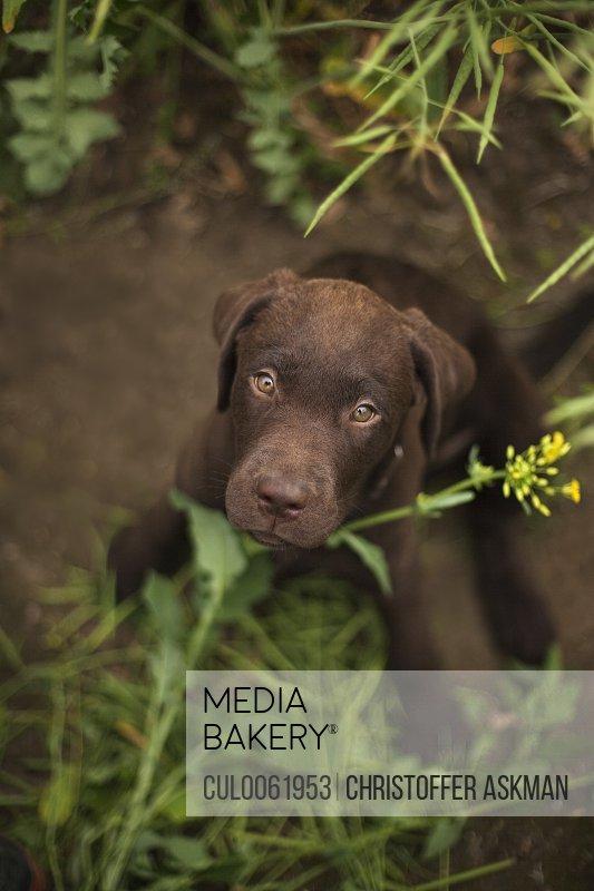 Labrador puppy sitting in grass