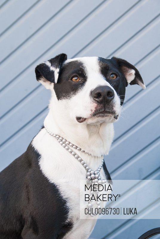 Dog wearing beaded necklace