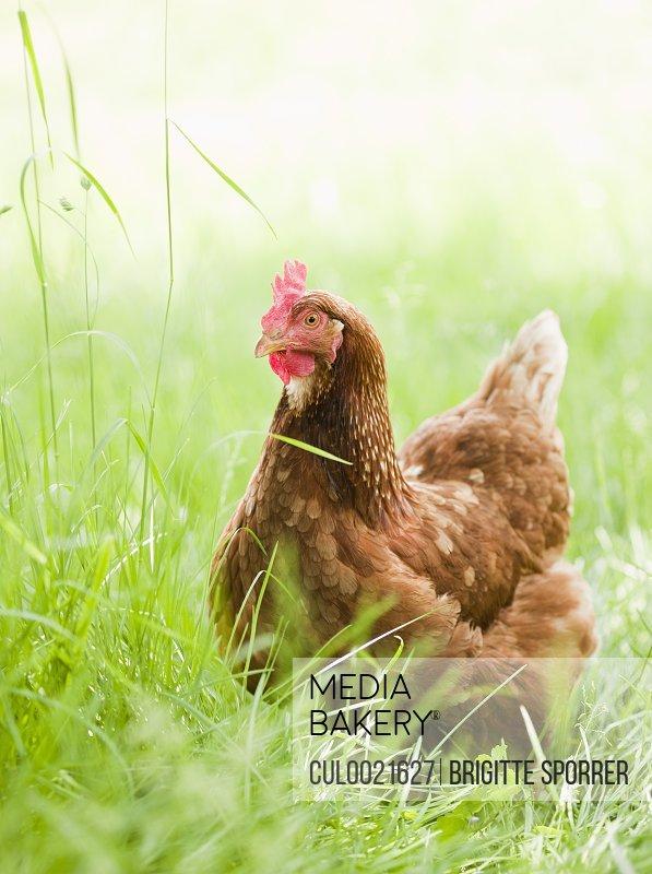 Chicken in Meadow