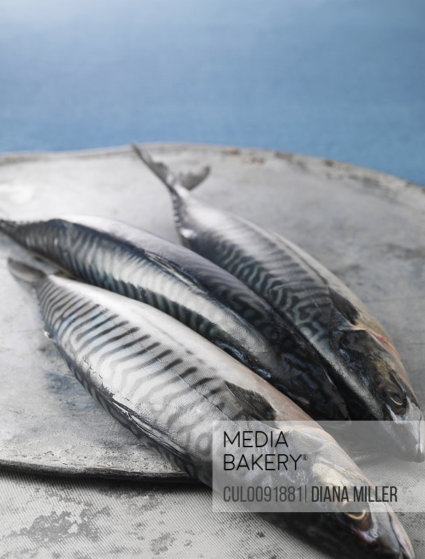 Freshly caught mackerel fish