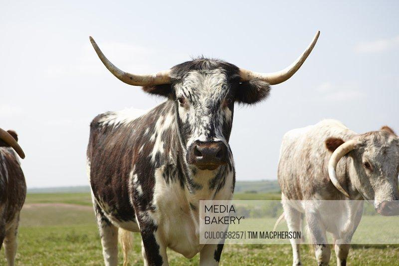 Longhorn cattle walking in field