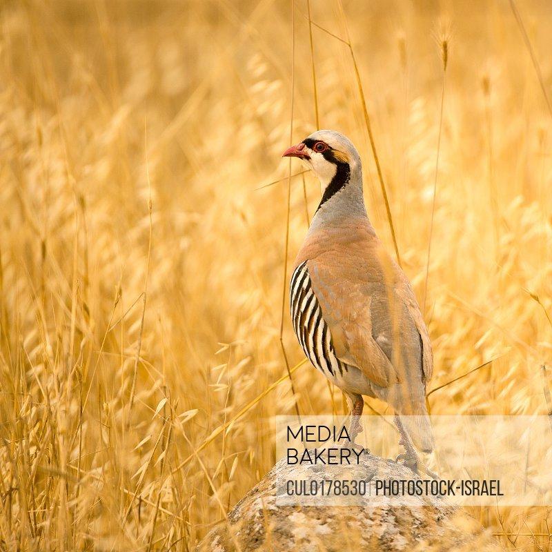 Chukar Partridge Alectoris Chukar) Israel