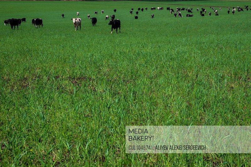 Herd of cows in a green field