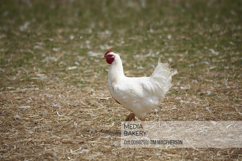 Chicken walking in yard