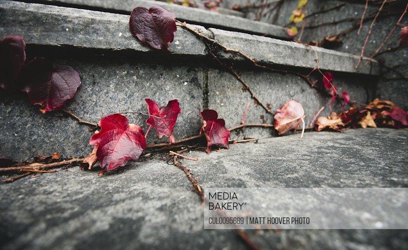 Red leaves on vine growing on steps