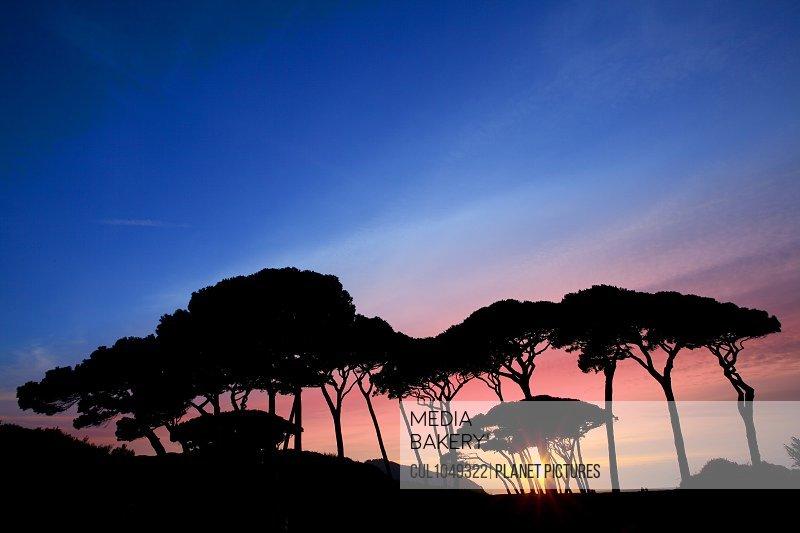 Pine trees at sunset, Baratti Gulf, Maremma, Tuscany, Italy