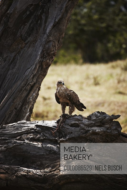 Bird of prey perched on dry tree