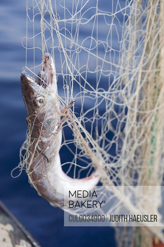fish in netting