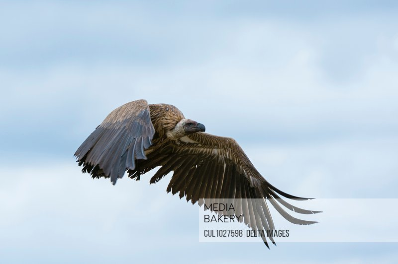 White-backed vulture (Gyps africanus) in flight, Ndutu, Ngorongoro Conservation Area, Serengeti, Tanzania