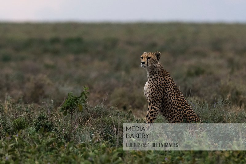 Cheetah (Acinonyx jubatus), Ndutu, Ngorongoro Conservation Area, Serengeti, Tanzania