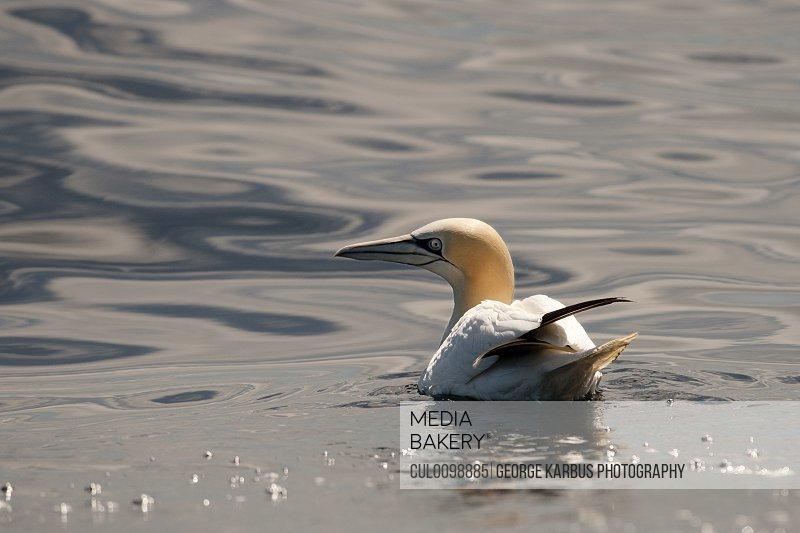 Gannet bird floating in water