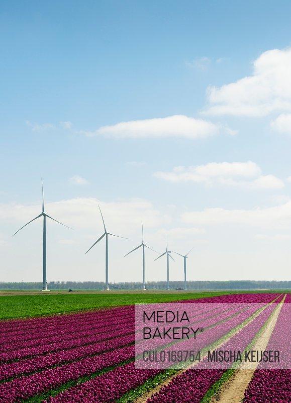 Wind farm between blossoming bulb fields Zeewolde Flevoland Netherlands