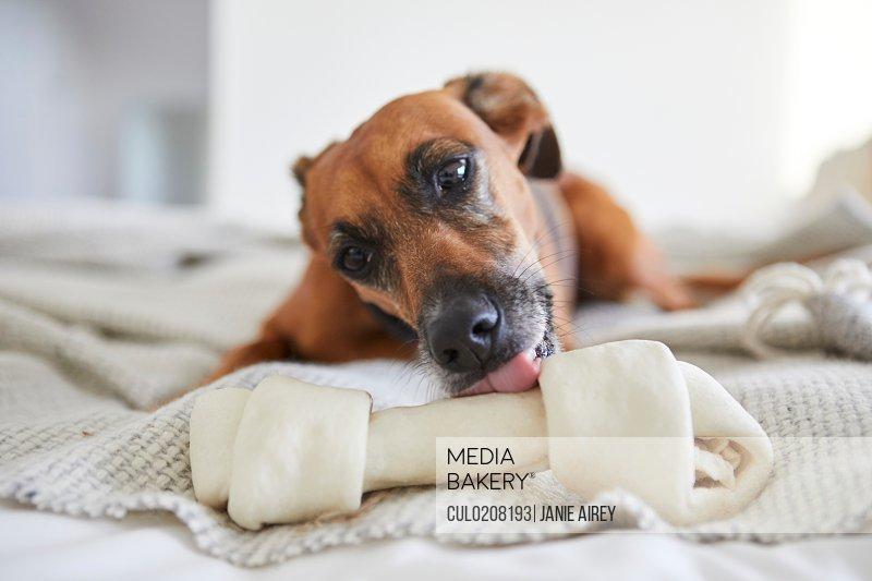 Dog on blanket licking dog bone