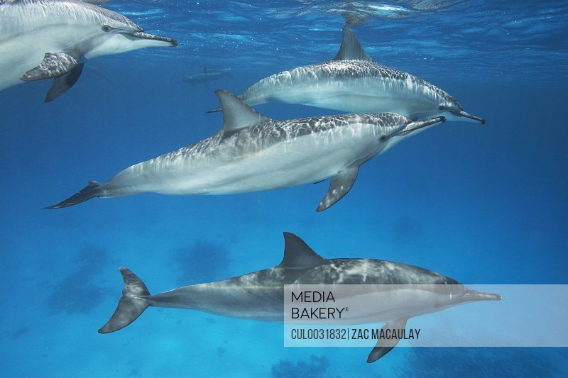 Group of Spinner Dolphins