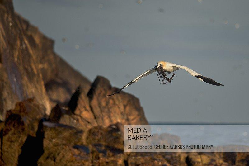 Gannet bird carrying twigs in beak