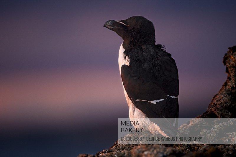 Guillemot bird roosting on cliff