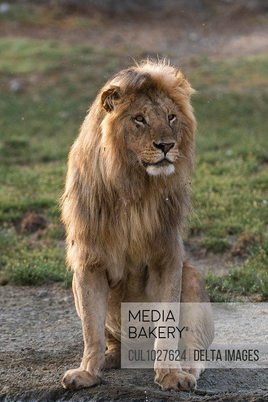 Male lion (Panthera leo), Ndutu, Ngorongoro Conservation Area, Serengeti, Tanzania