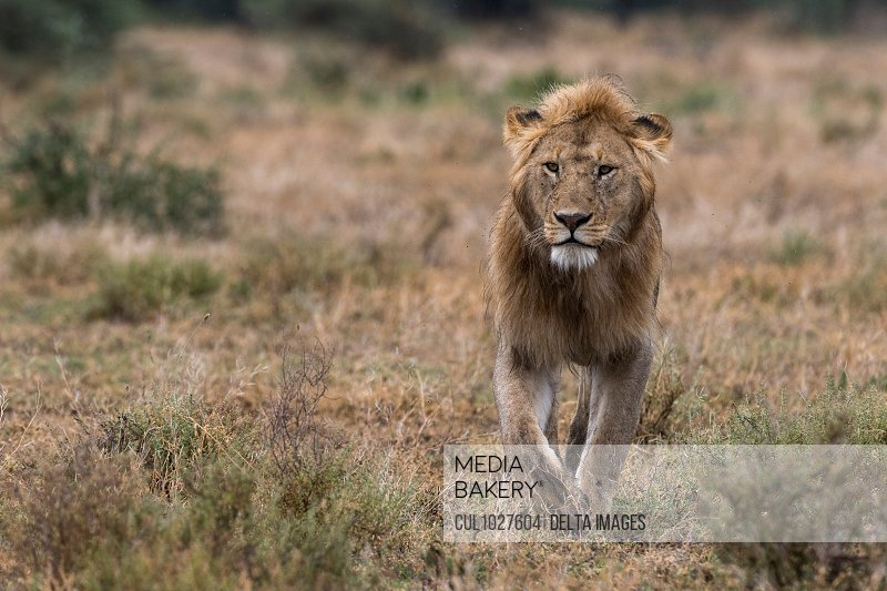 Male lion walking (Panthera leo), Ndutu, Ngorongoro Conservation Area, Serengeti, Tanzania
