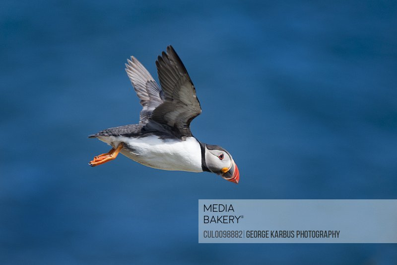 Puffin flying in air