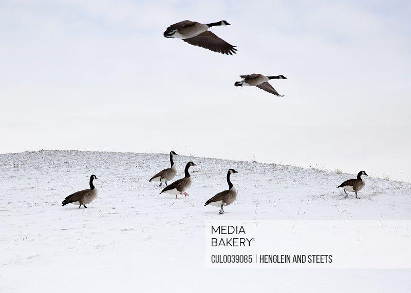 Flying geese in snowy landscape