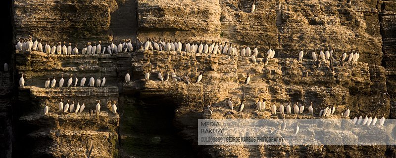 Guillemot birds roosting on cliff