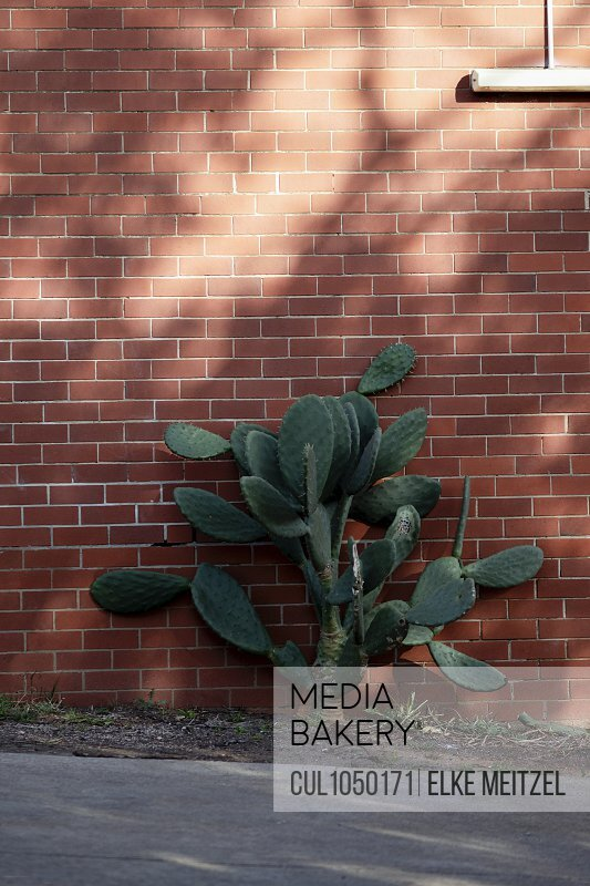 Cactus growing on side of building