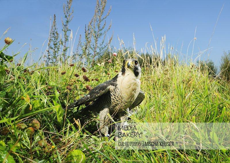 Hawk standing in grassy field