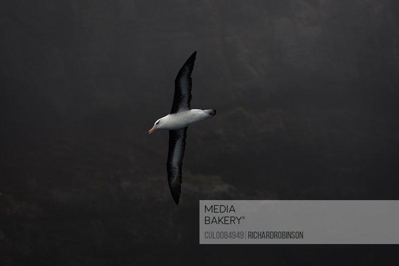Campbell albatross in flight