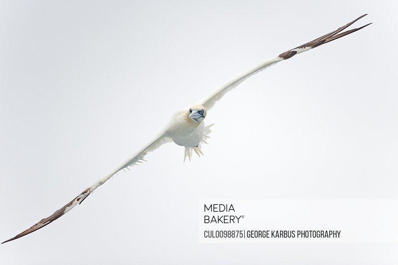 Gannet bird flying in air