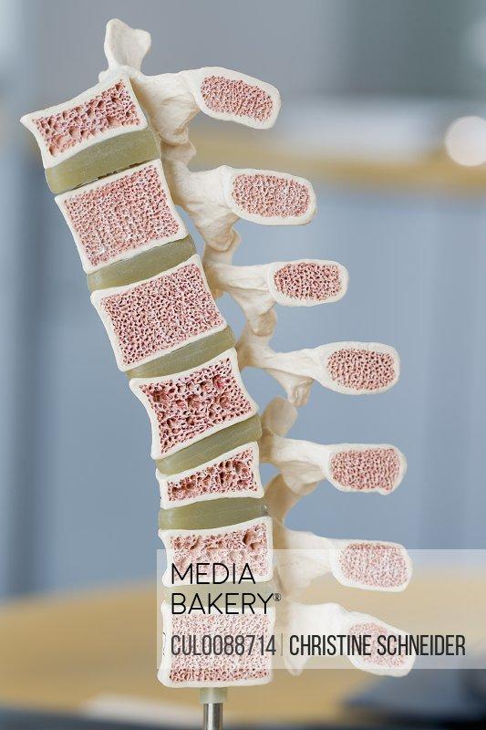 Close up of model of bones